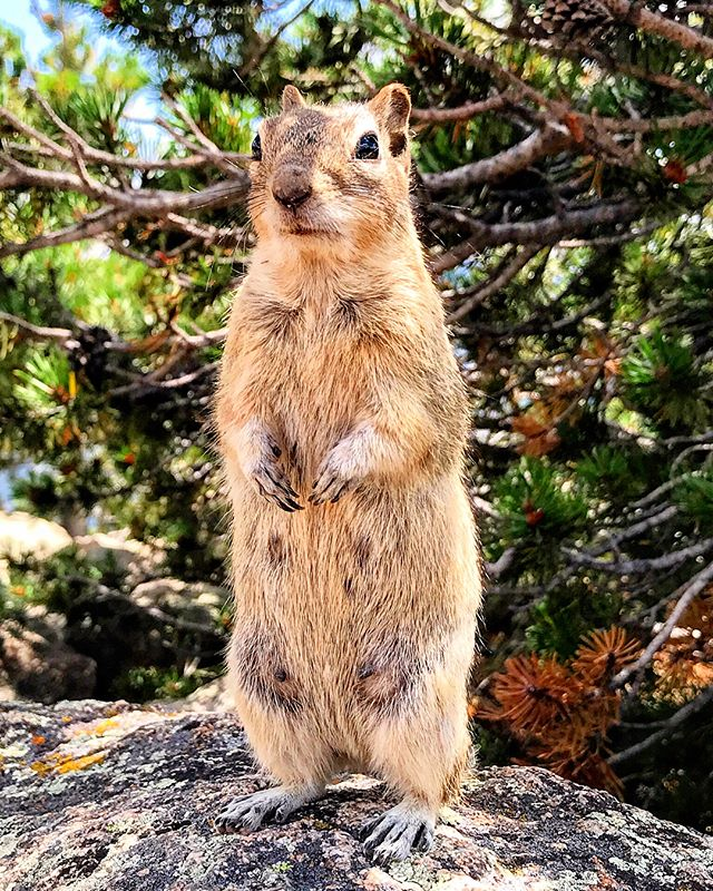 Oh hey, hey there human. By the crinkling of that bag I heard it's lunchtime, yeah? You bring enough to share? 🐿🥪 . . . . 📸 by @veloco_rap_star in #rockymountainnationalpark , home of the world's friendliest - or perhaps hungriest - chipmunks. #werlingweek