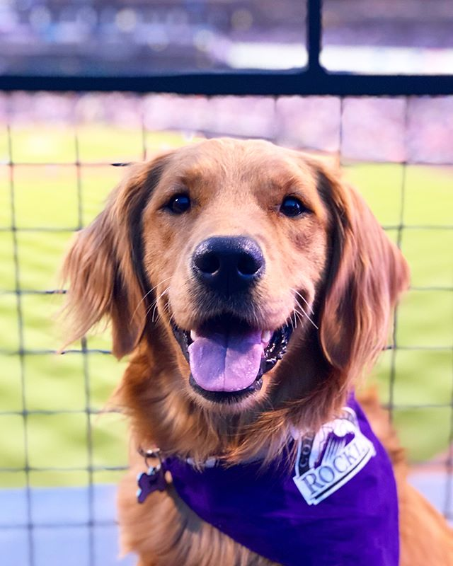 Obviously, Maple had a great time at the 'BALL' 'PARK' last night, watching the Rockies 'RUN' and 'GO GET IT' and 'CATCH IT'... because apparently baseball combines all of her favorite words. 🍁🐶⚾️❤️ . . . #barkatthepark #rockies #rockiesbaseball #coloradorockies #adventureswithdogs