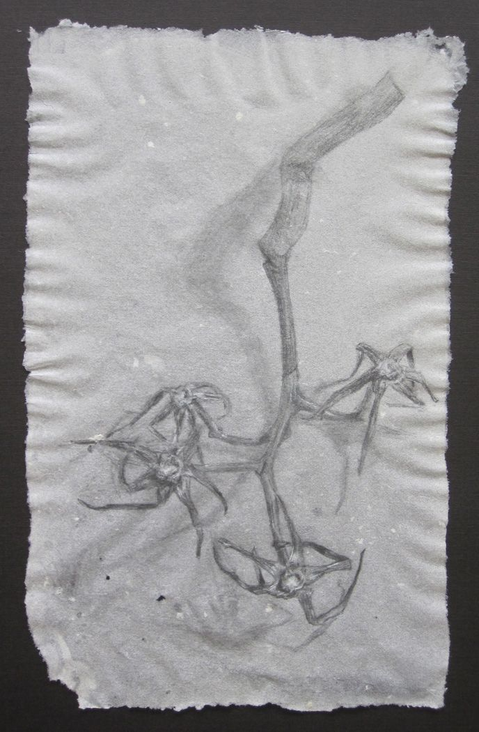 """Tomato stem , 2011,pencil and white charcoal on handmade abaca paper, 8"""" x 5"""""""