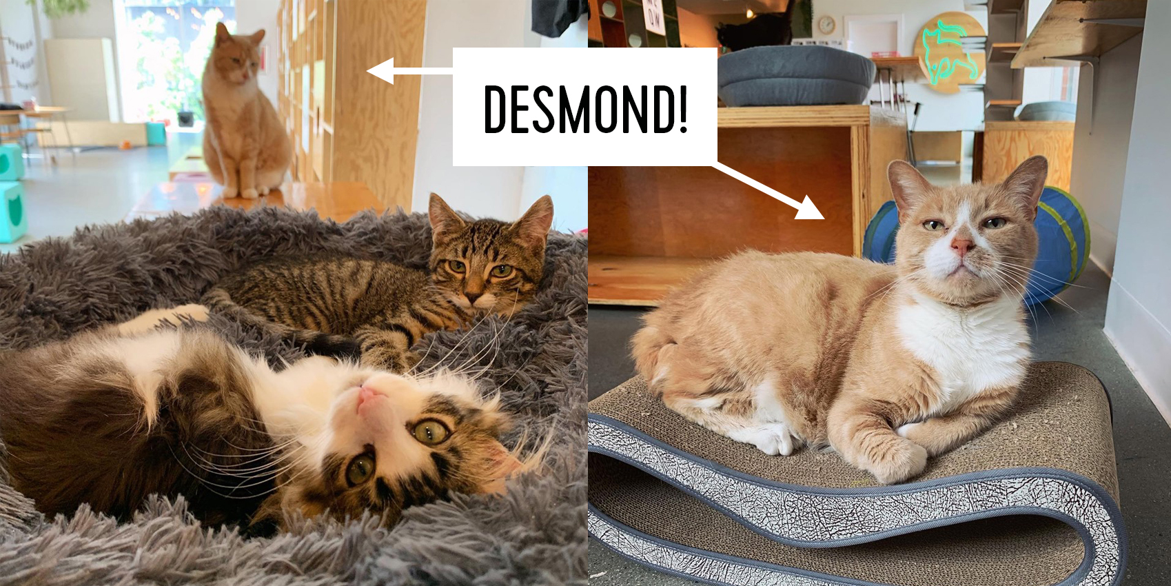 Desmond only LOOKS like a Mr. Grumpy Pants! This boy is loyal and loving and is going to bring so much joy to the lucky purrson who adopts him! You can read more about him  here .