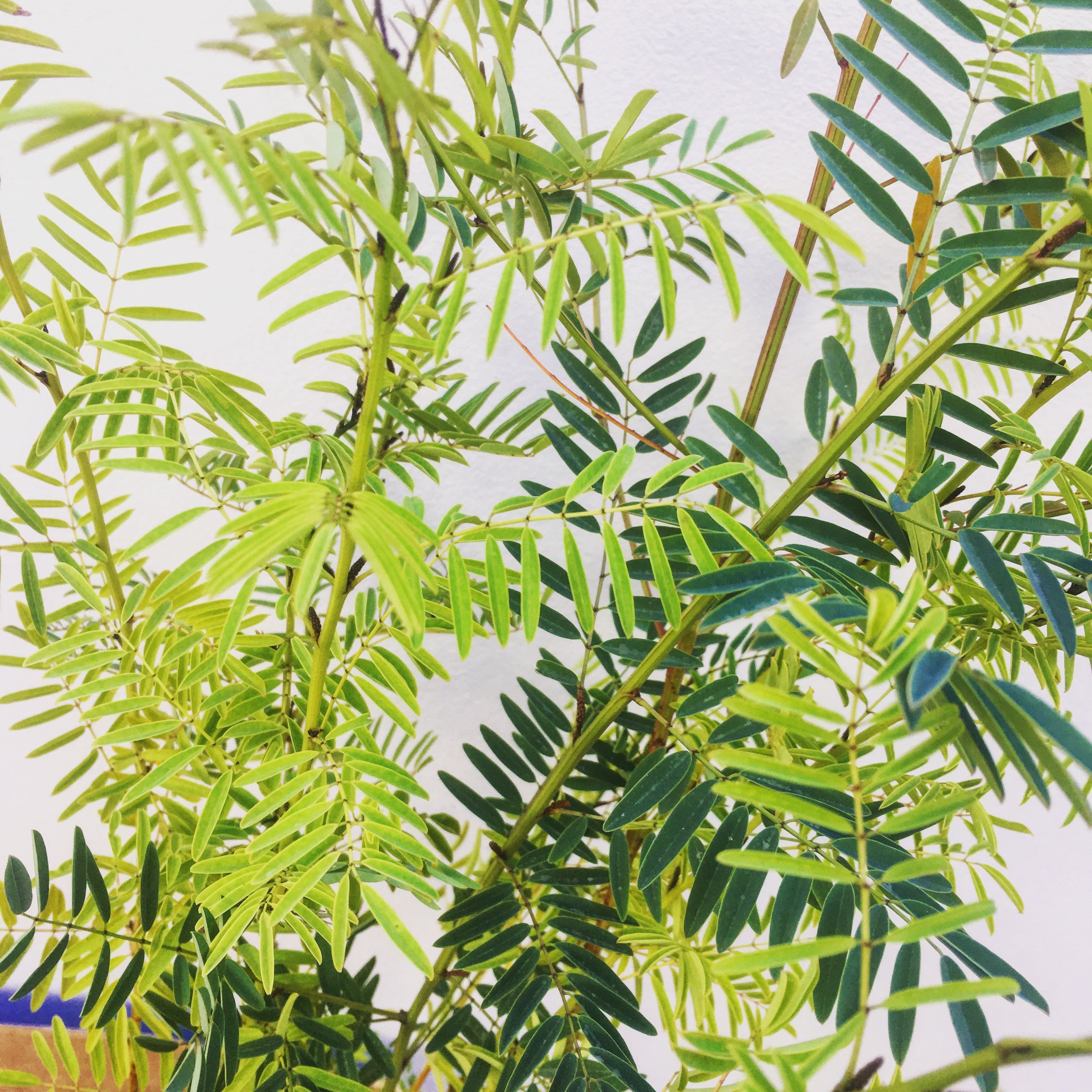My native Australian indigo plants,  Indigofera australis.