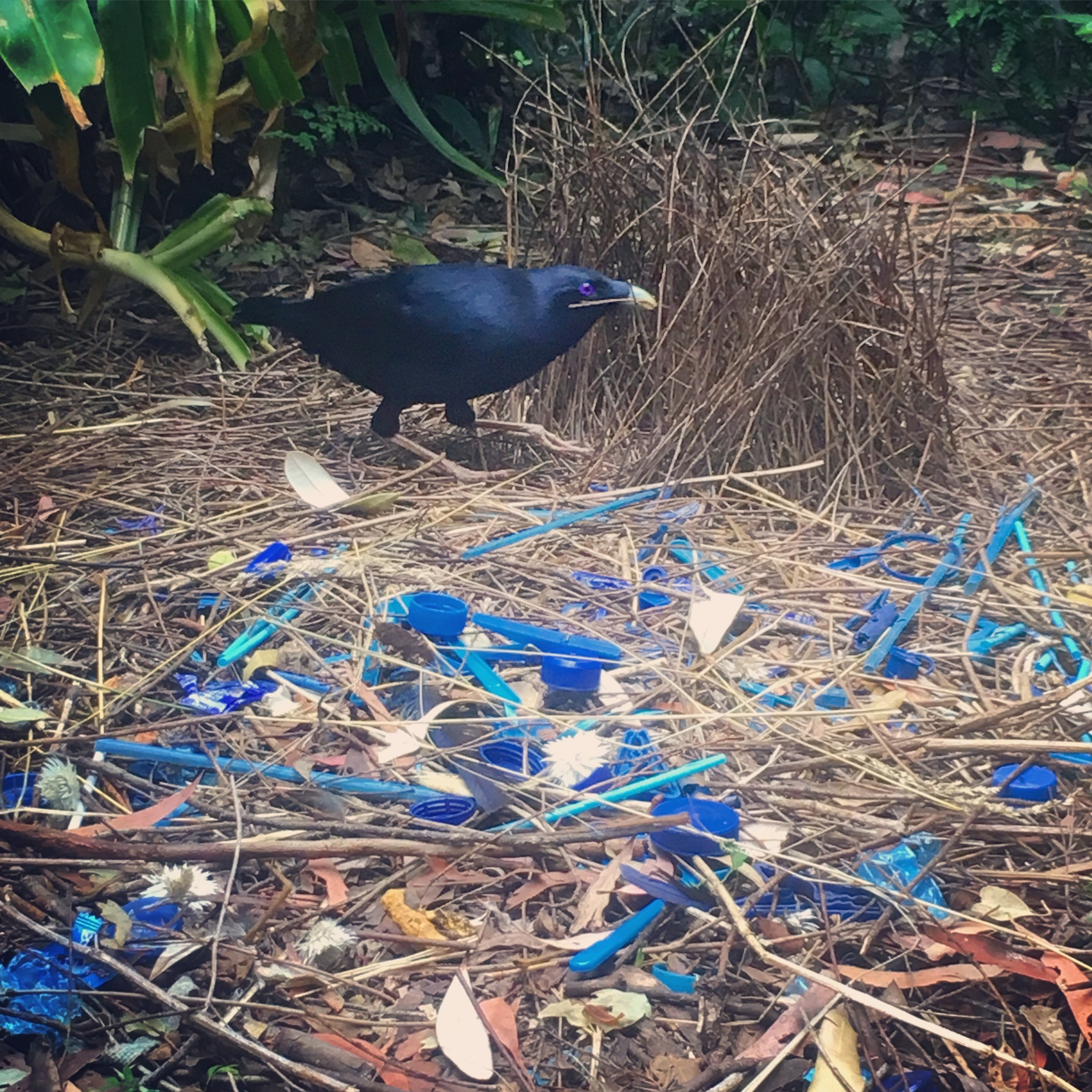 A photo I took while camping in the Lamington National Park. This is the Satin Bower bird, who collects blue things to line his bower to impress a mate. All his blue things are pieces of plastic.
