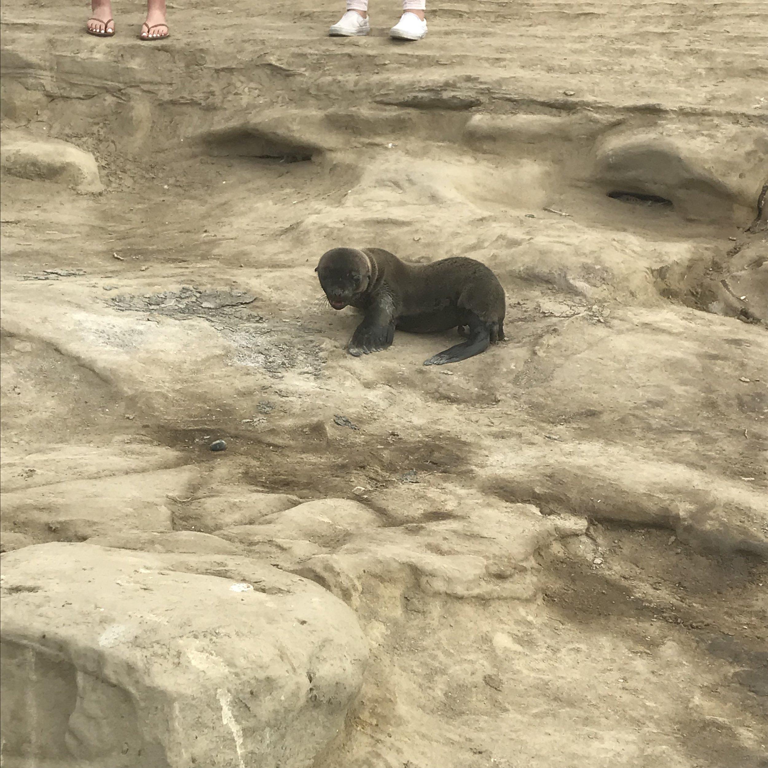 Baby seal climbing rocks in San Diego!