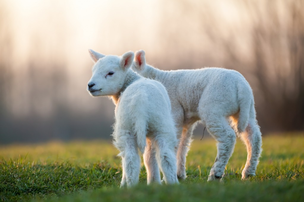 ..nej! Får får inte får, får får lamm.