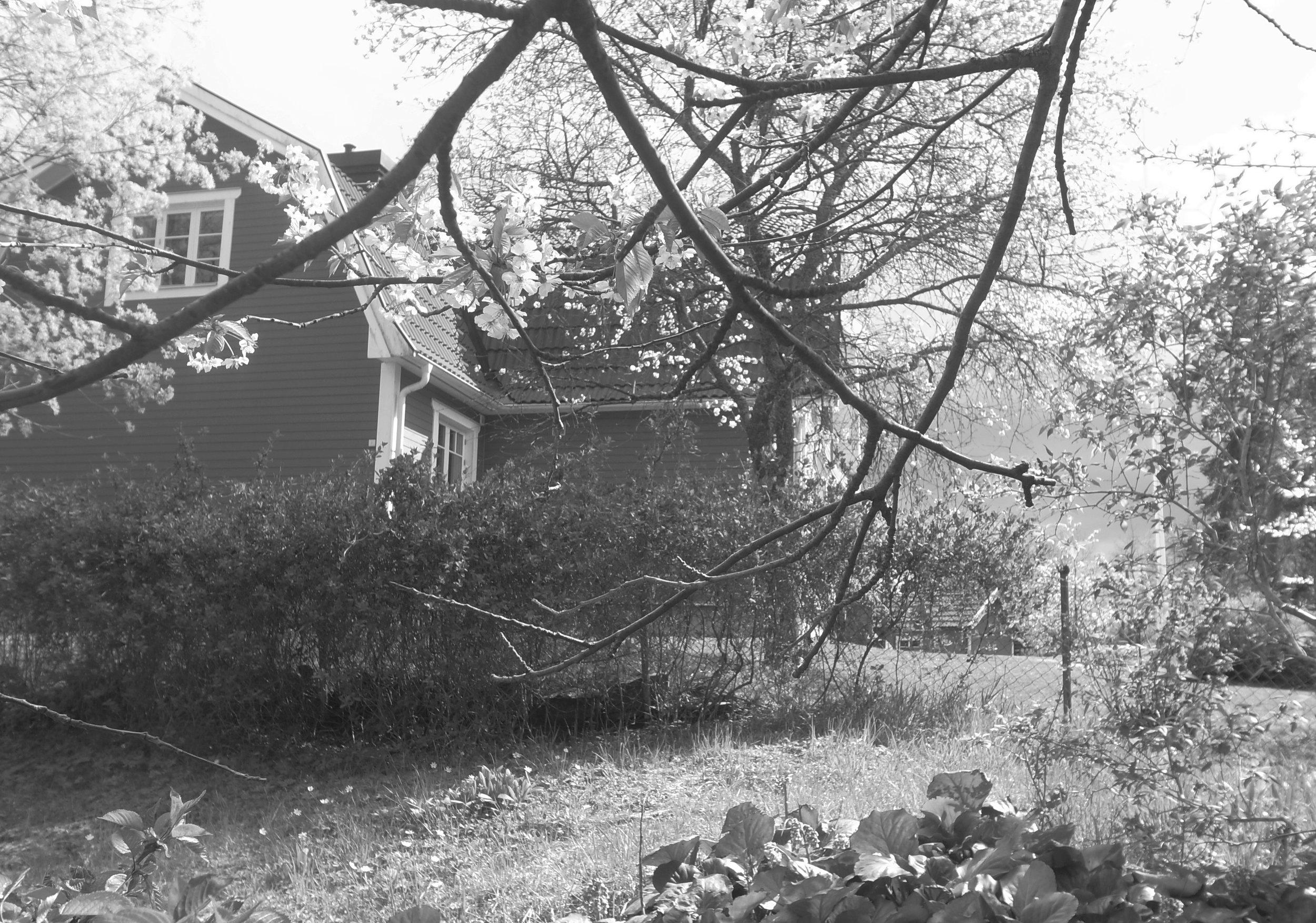 o19o512  Under körsbärsträdet, som jag vid mognad tack & lov kunnat nå de mörkast röda från, högväxt som jag är.