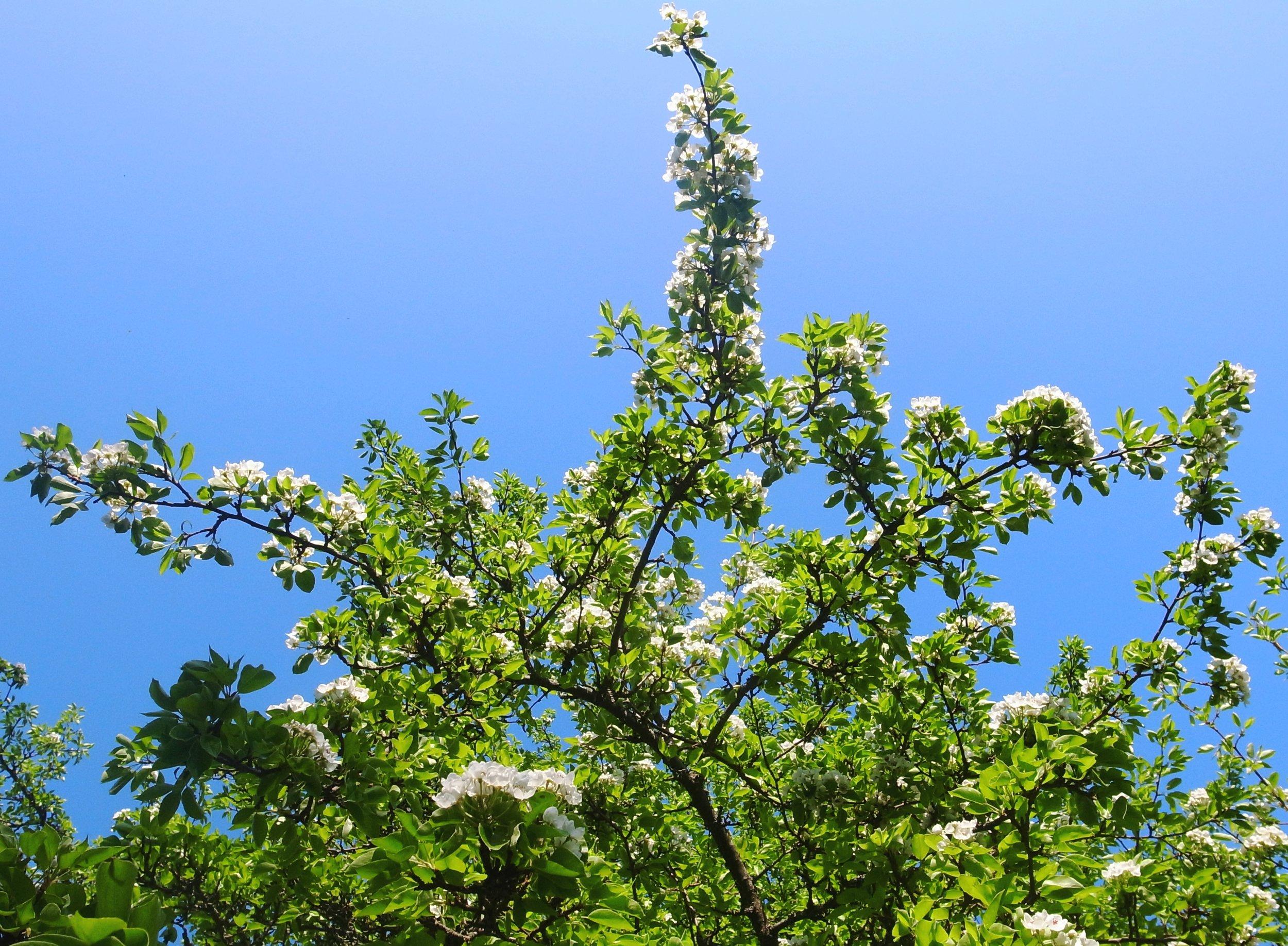 o19o52o  När pärombloms knoppar brustit. De vårens blomster vilka generöst sprider flortöcken har jag hungrigt nosat på & de doftmässigt försynta; körsbär & päron, har förevigats i kameraöga.