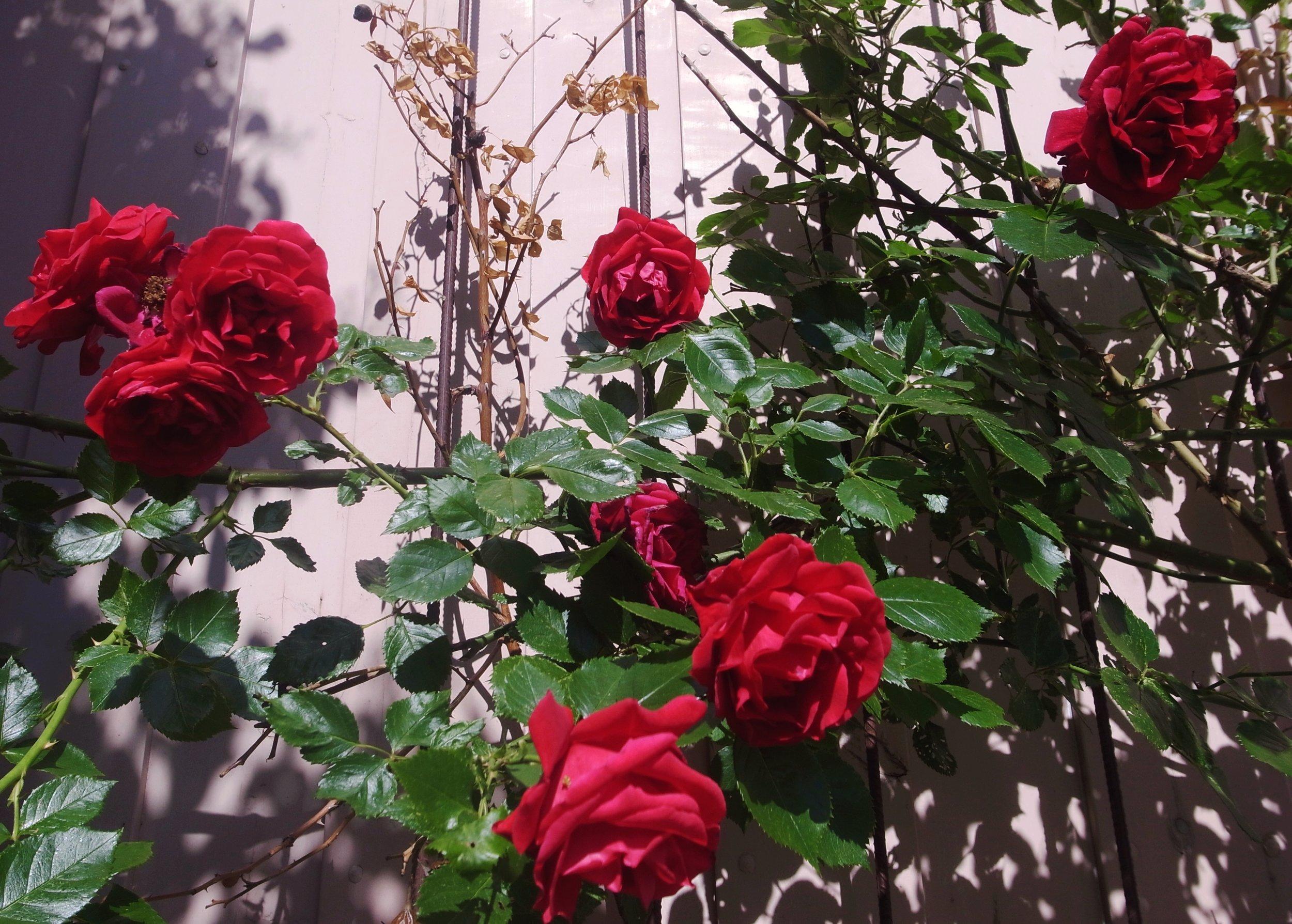 o19o629  Röda rosor, Uppsala.