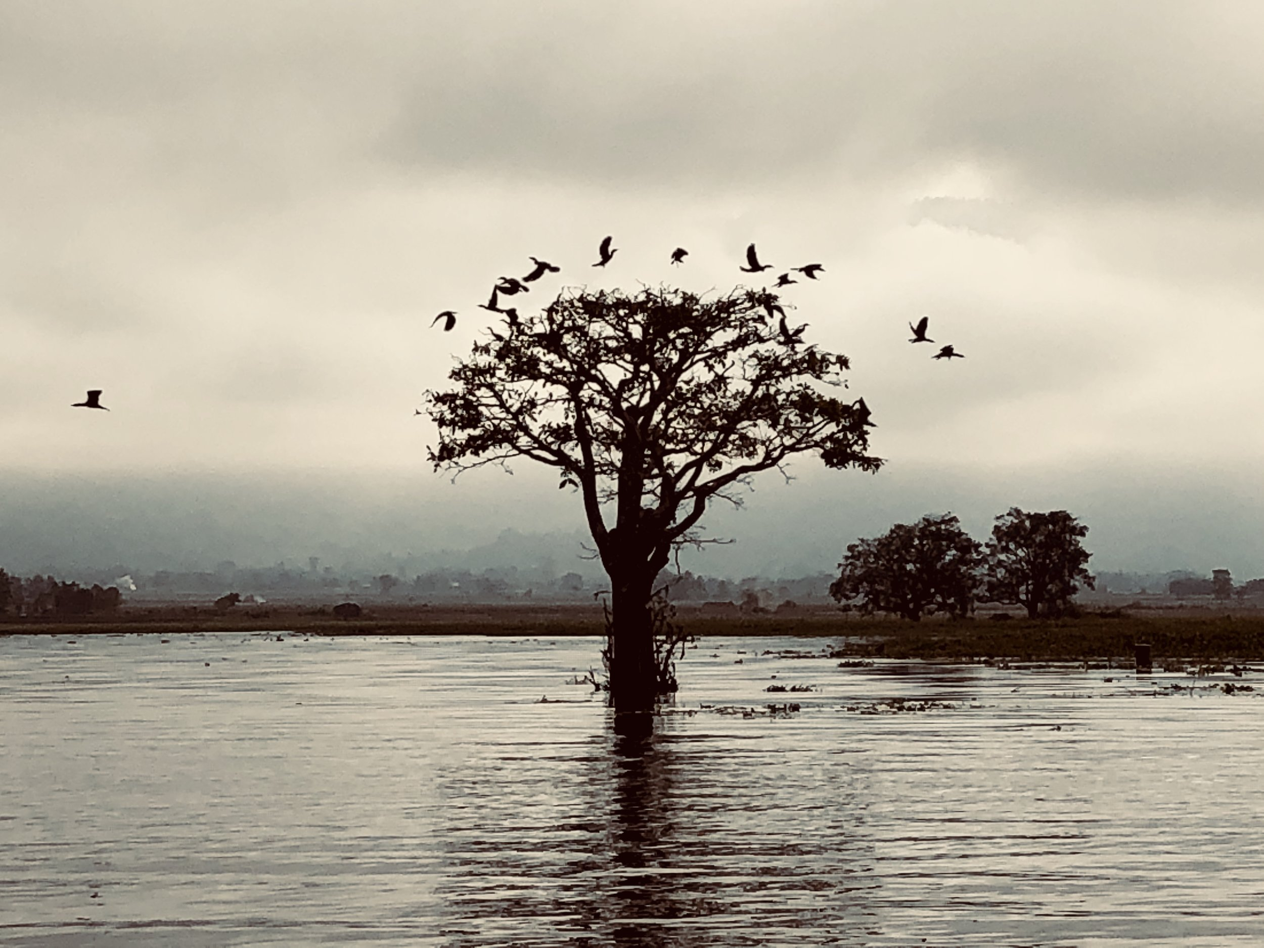 Great Cormorants take off from a tree