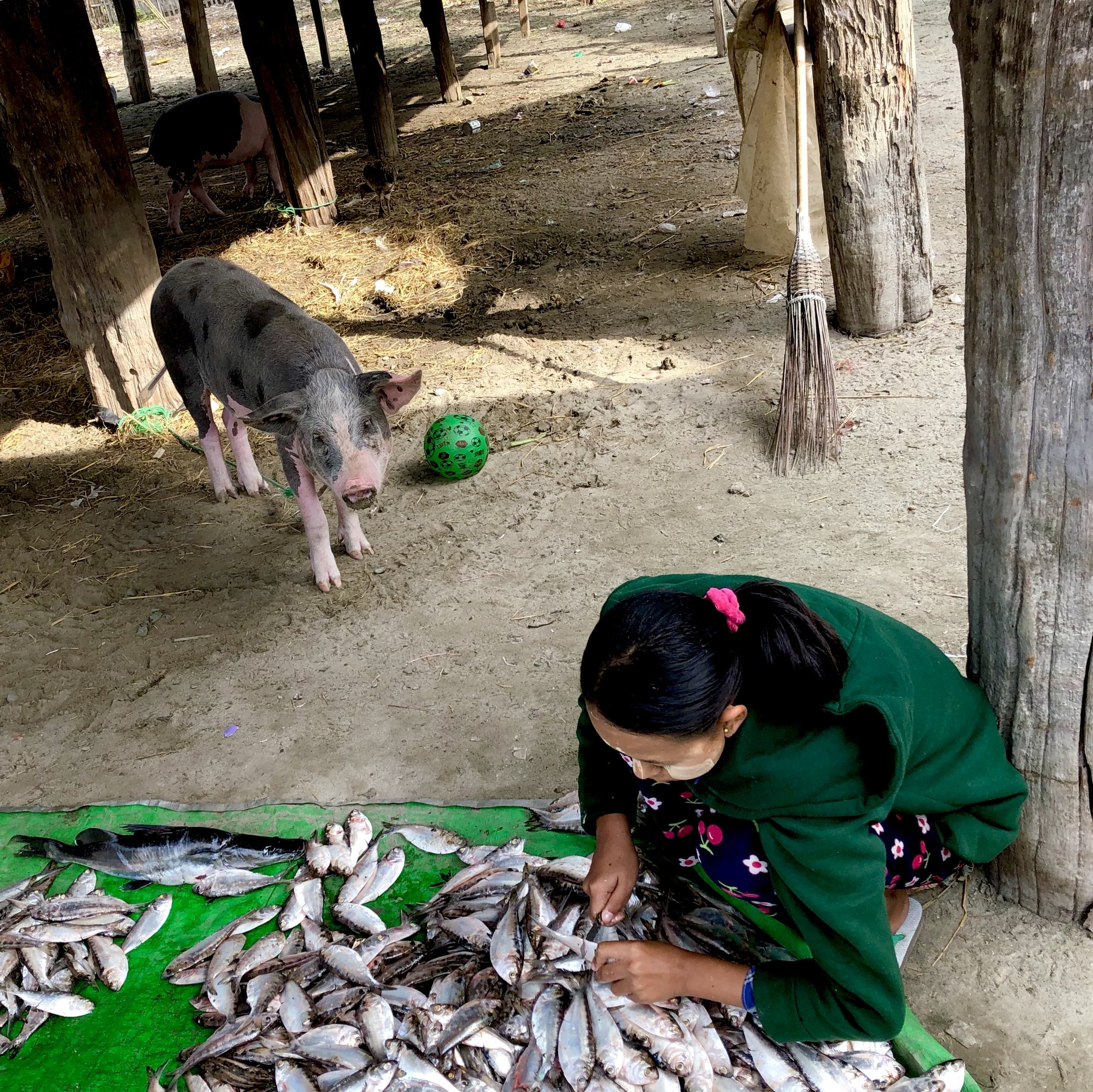 A pig watches on as a woman scales fish in Hepa village