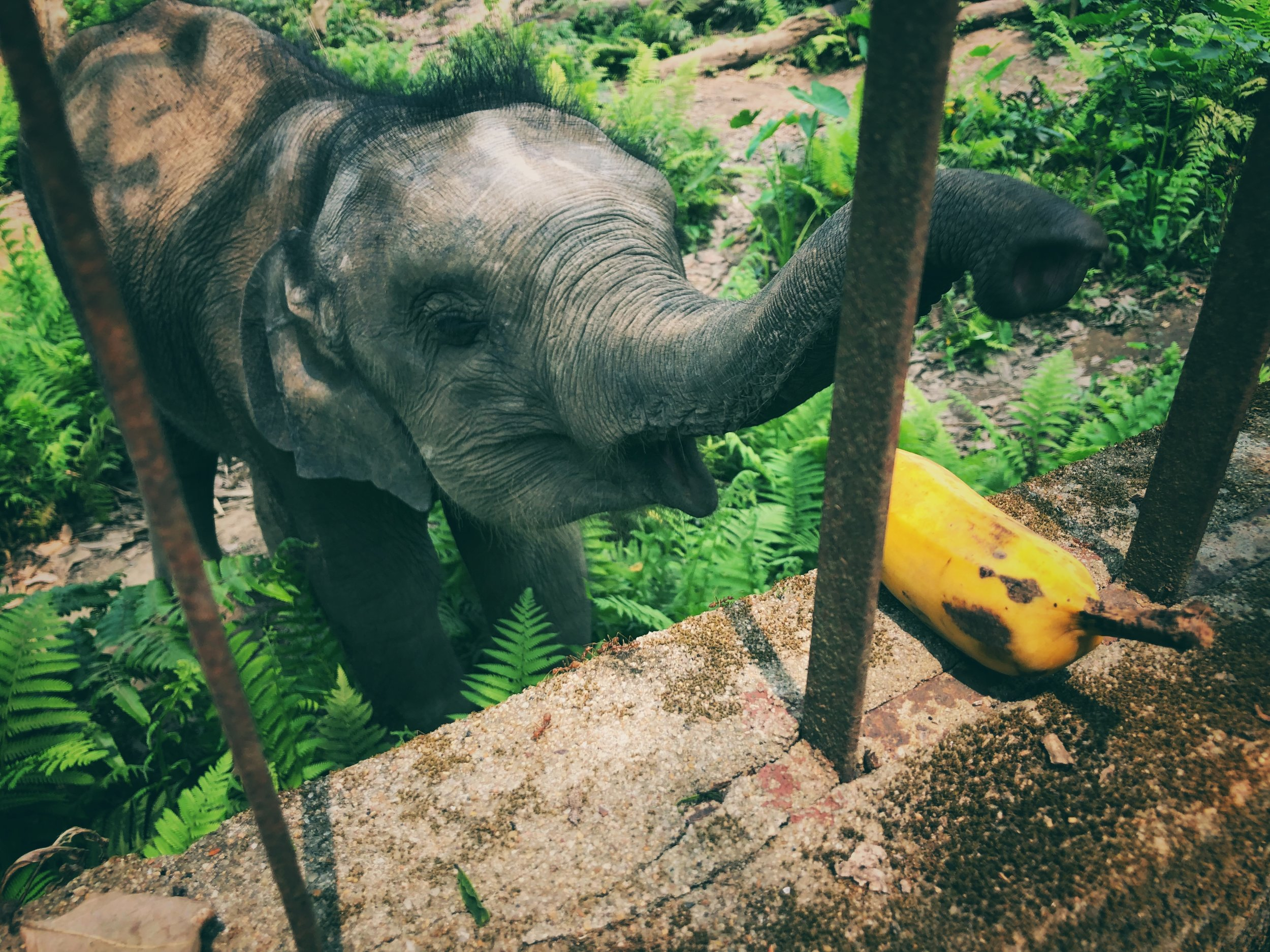 A motherless calf, a living victim of poaching, destined never to return to her forest home