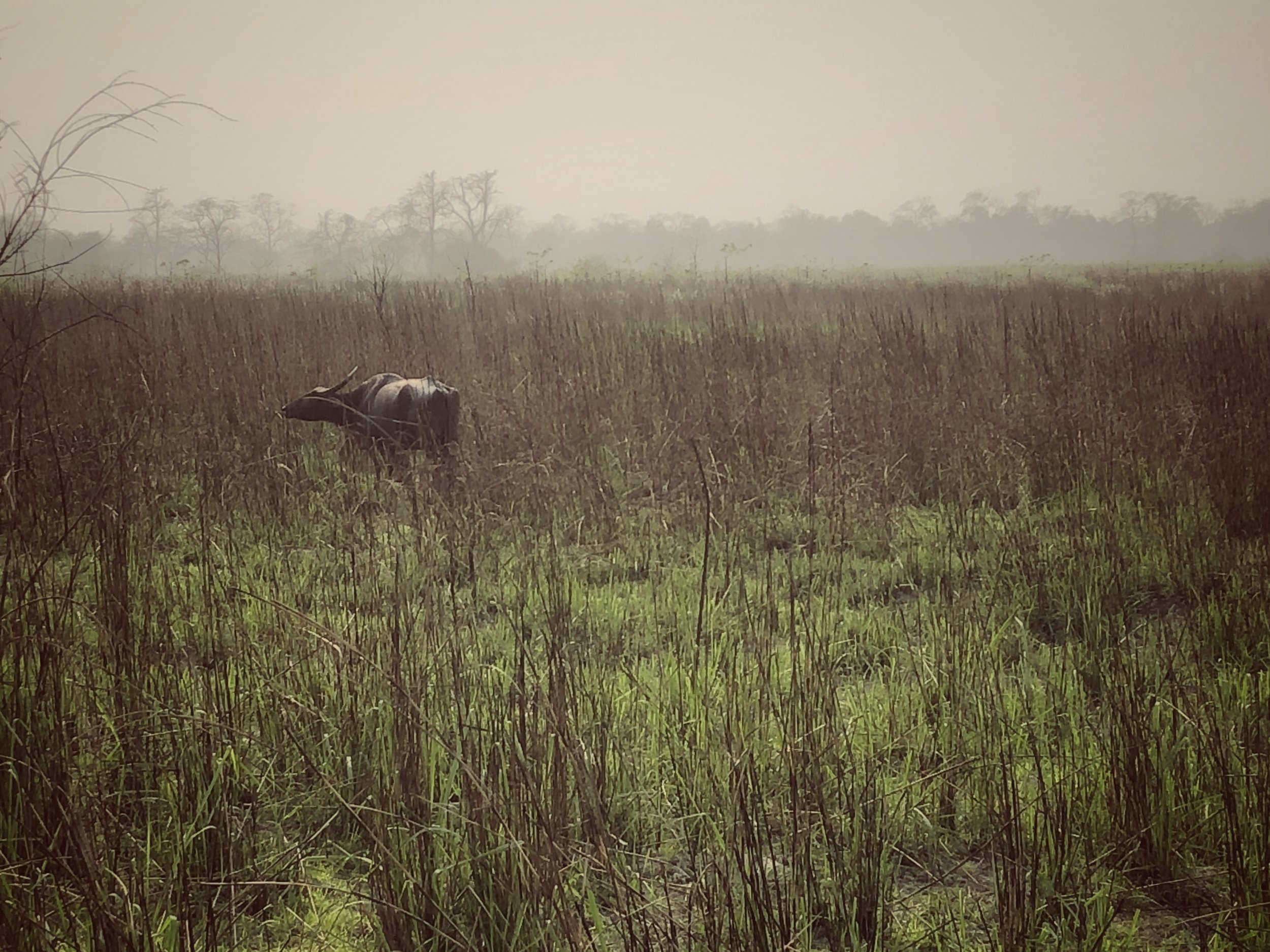 Water Buffalo amidst burnt elephant grass - the park is managed to provide the best habitat for wildlife and is closed from May to November
