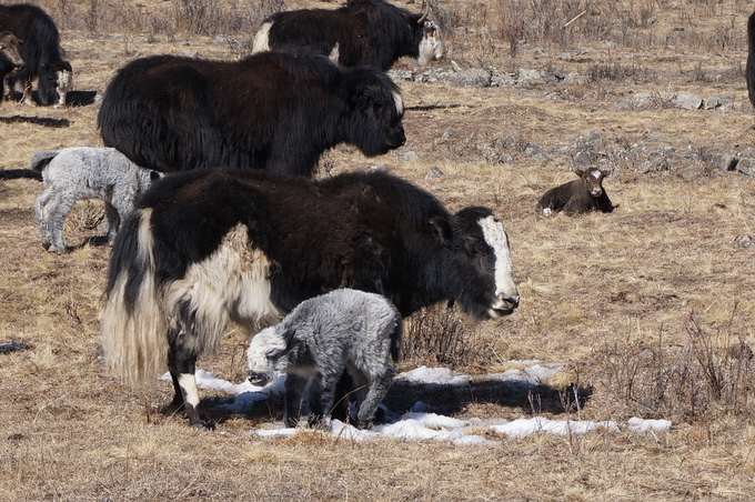 Mongolian Yak and baby yak