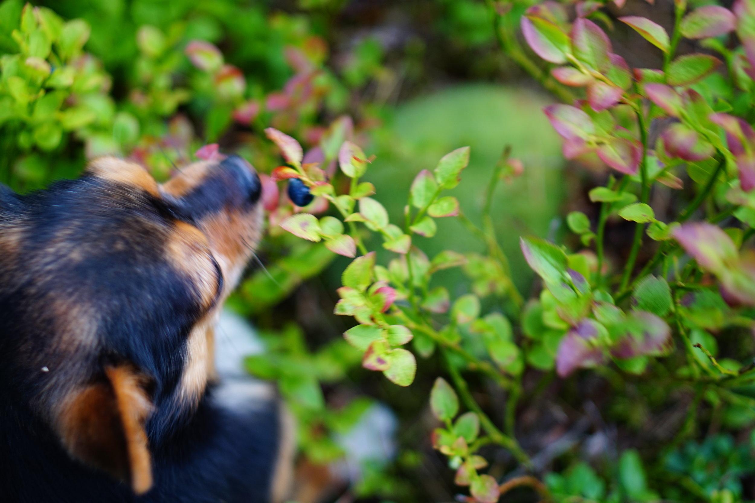 Samba (my dog) eating straight from the blueberry bush