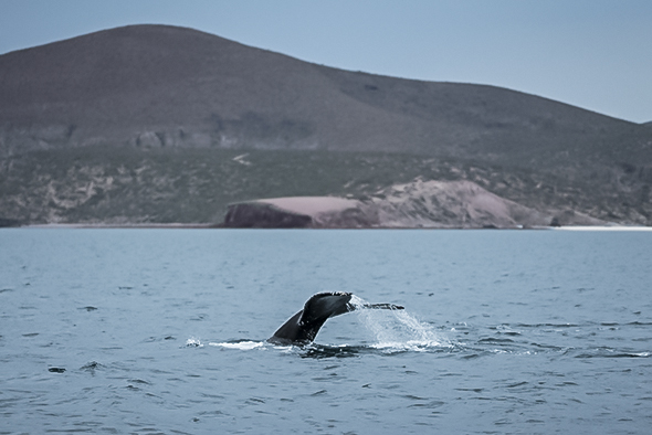 A humpback whale flukes off the coast of La Paz., Mexico; Photograph by Max Lowe