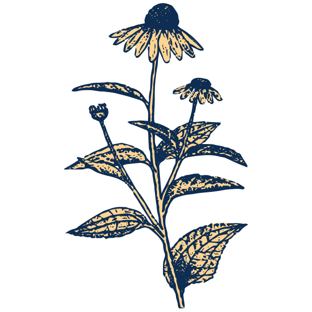 Echinacea Root - Connects with the body's endocannabinoid systemat the CB-2 receptor sitesEnhances immune system responseFound in: CBD Peppermint, CBD Ginger, Zen Peppermint