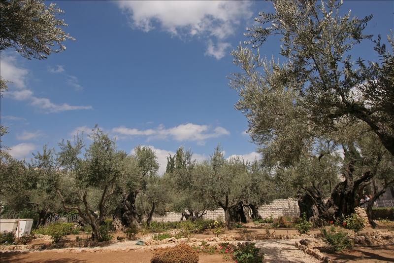 Gethsemane,at the foot of the Mount of Olives in Jerusalem
