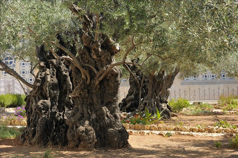 Some of the oldest olive trees in the garden of Gethsemane, Jerusalem