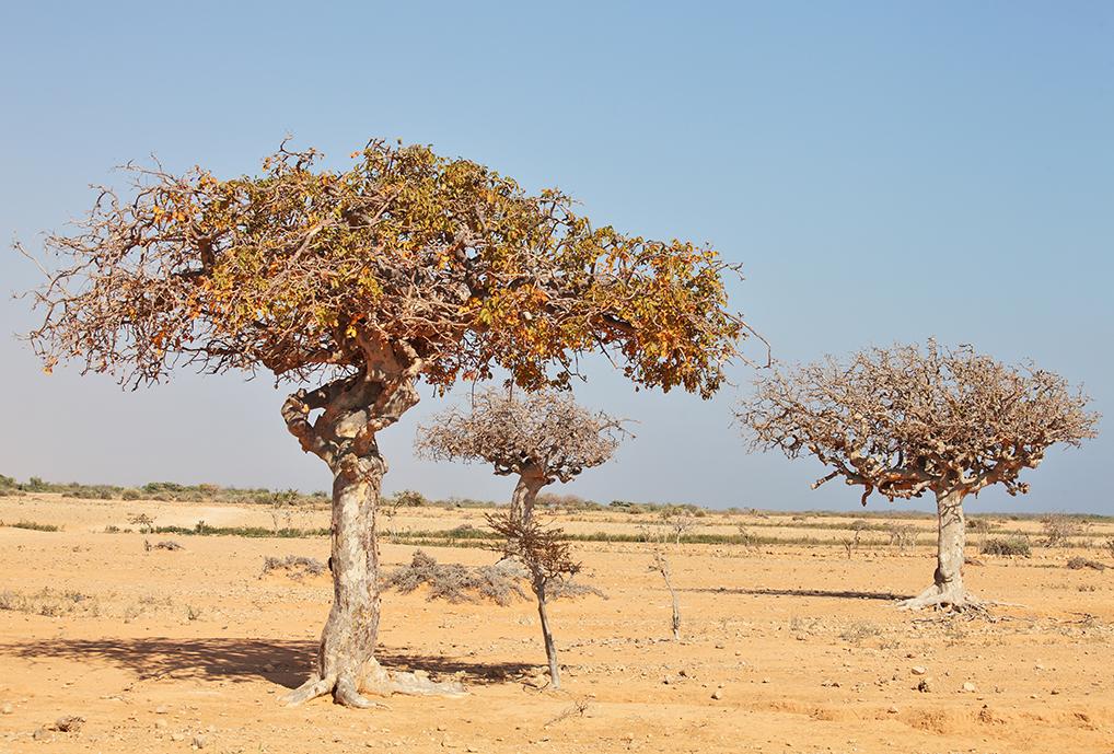 Myrrh tree.jpg