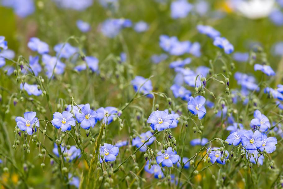 Flax flowers.