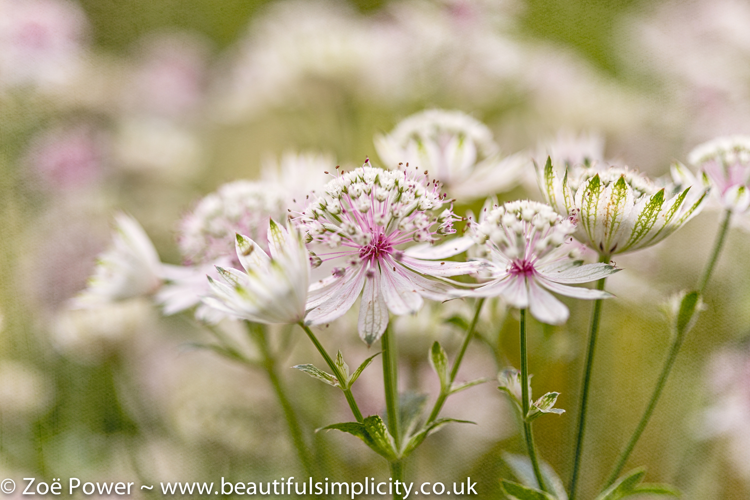 This photo was taken using my Canon 100mm f2.8 macro lens at f2.8. I was standing very close to the Astrantias, which are a tiny flower.