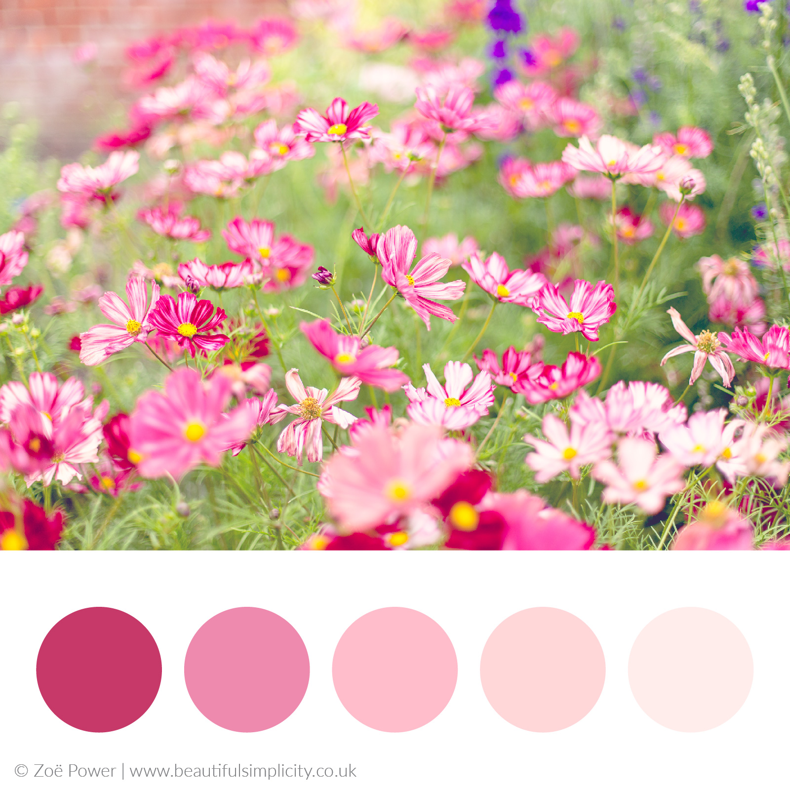 All the pinks colour palette   Cosmos Velouette