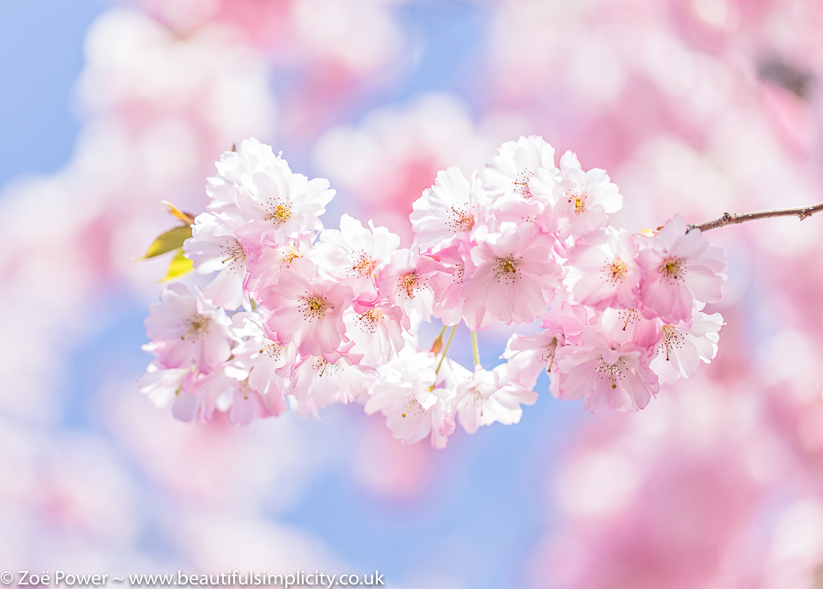 Cherry blossom | Chronic Fatigue Syndrome (CFS)/ME - My Story - Part 1 of 3