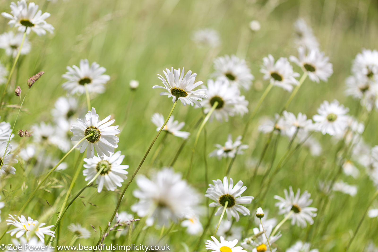 Summer daisies | Chronic Fatigue Syndrome (CFS)/ME - My Story - Part 1 of 3