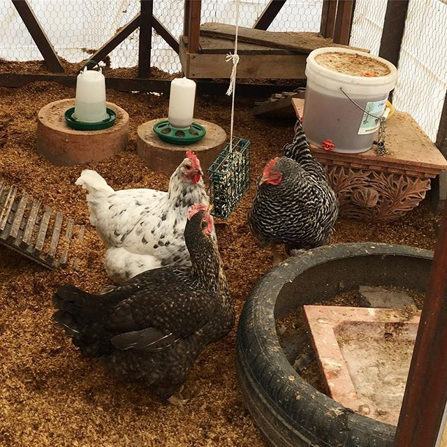 Happy International Women's Day, from our ladies to yours! —— #brooklyn #bedstuy #womensday #internationalwomensday #communitygarden #nyc #nyrp #hens #chickens #local