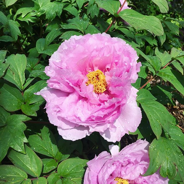 After the rain..... —— #bedstuy #peony #garden #nyc #nyrp #communitygarden #pink #brooklyn #spring