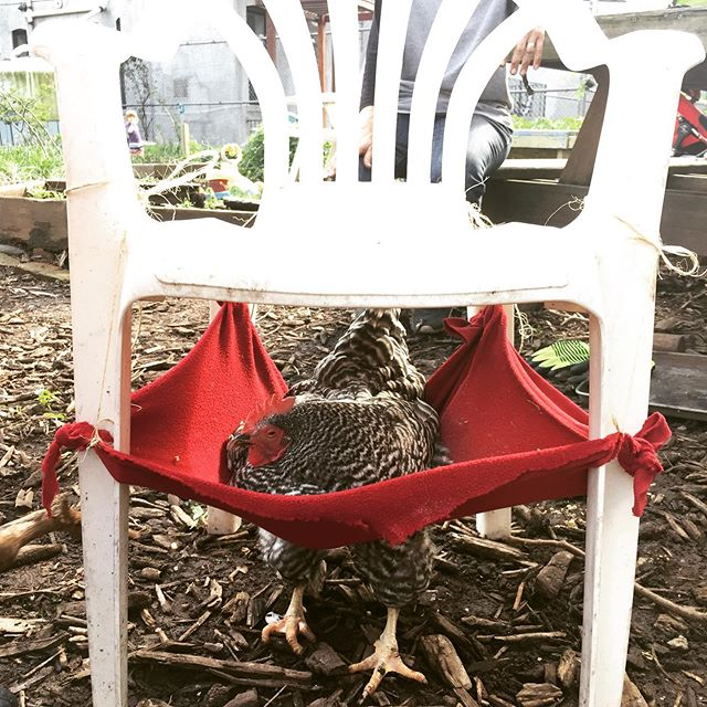 DJ is going trough some health issues that makes very difficult to use her legs. The crew manage to make her a bit more comfortable, on Saturday she was able to chill out of the coop for a while. #citychickens #chickens