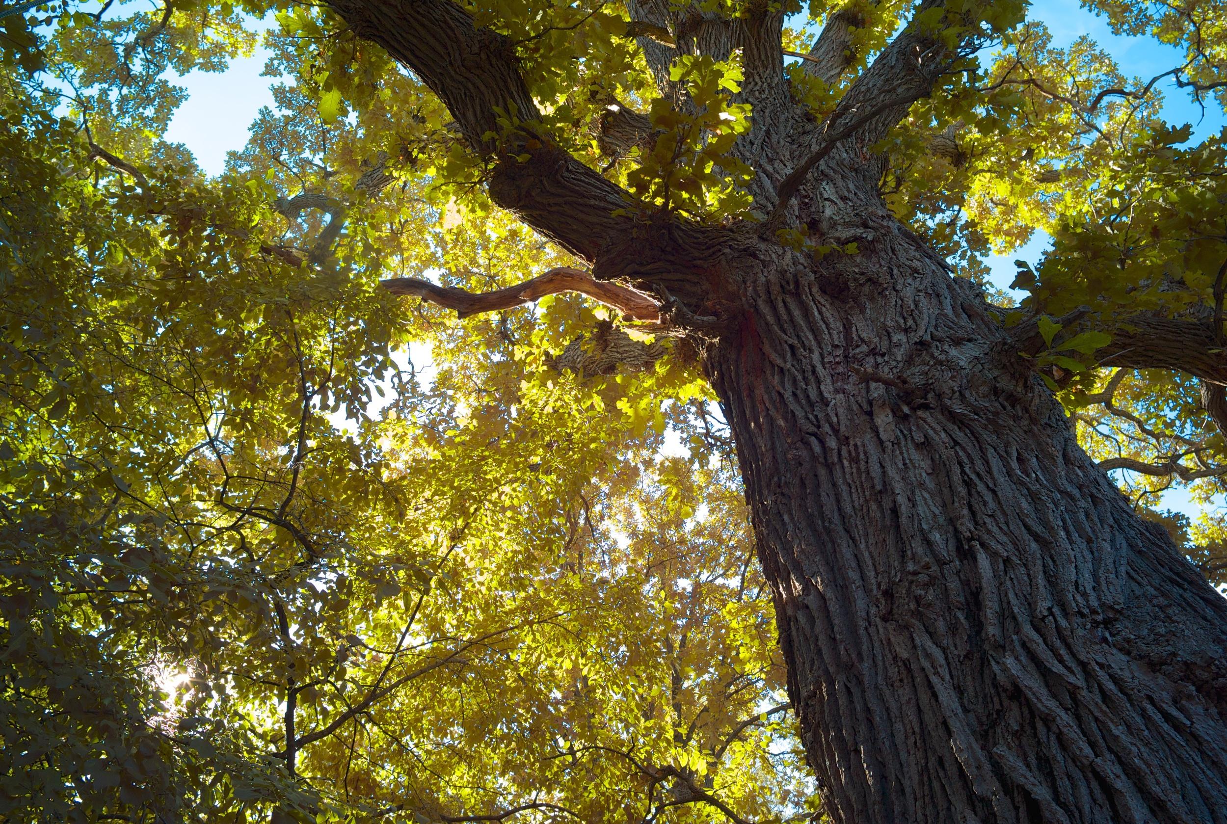 Mature bur oak tree.