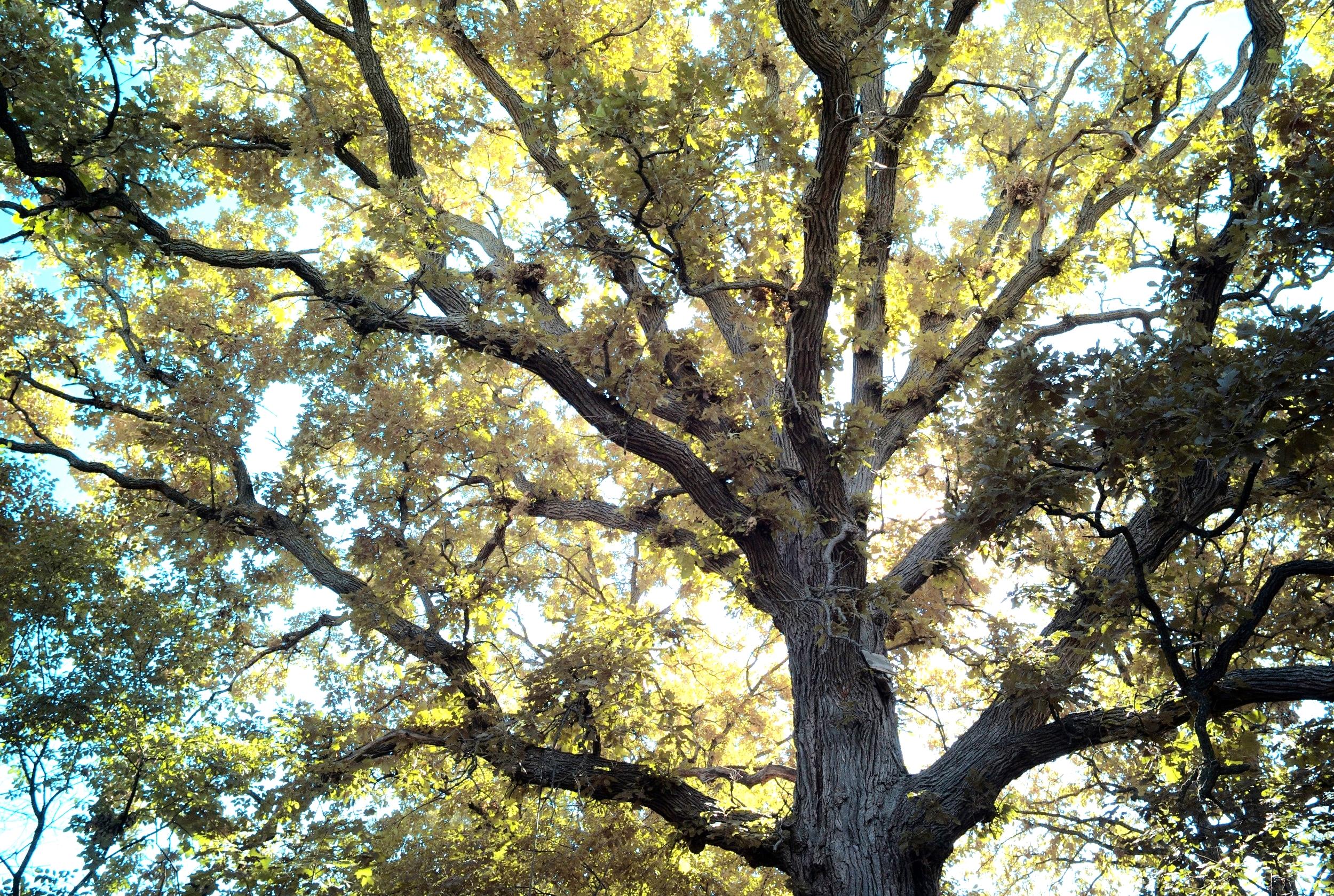 Giant bur oak. Photo: Chris Osler