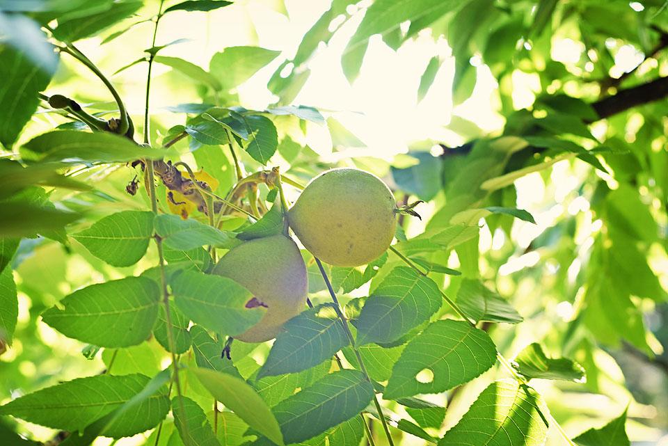 Black walnut tree.                                                                                                               Photo: Jana Dybinski