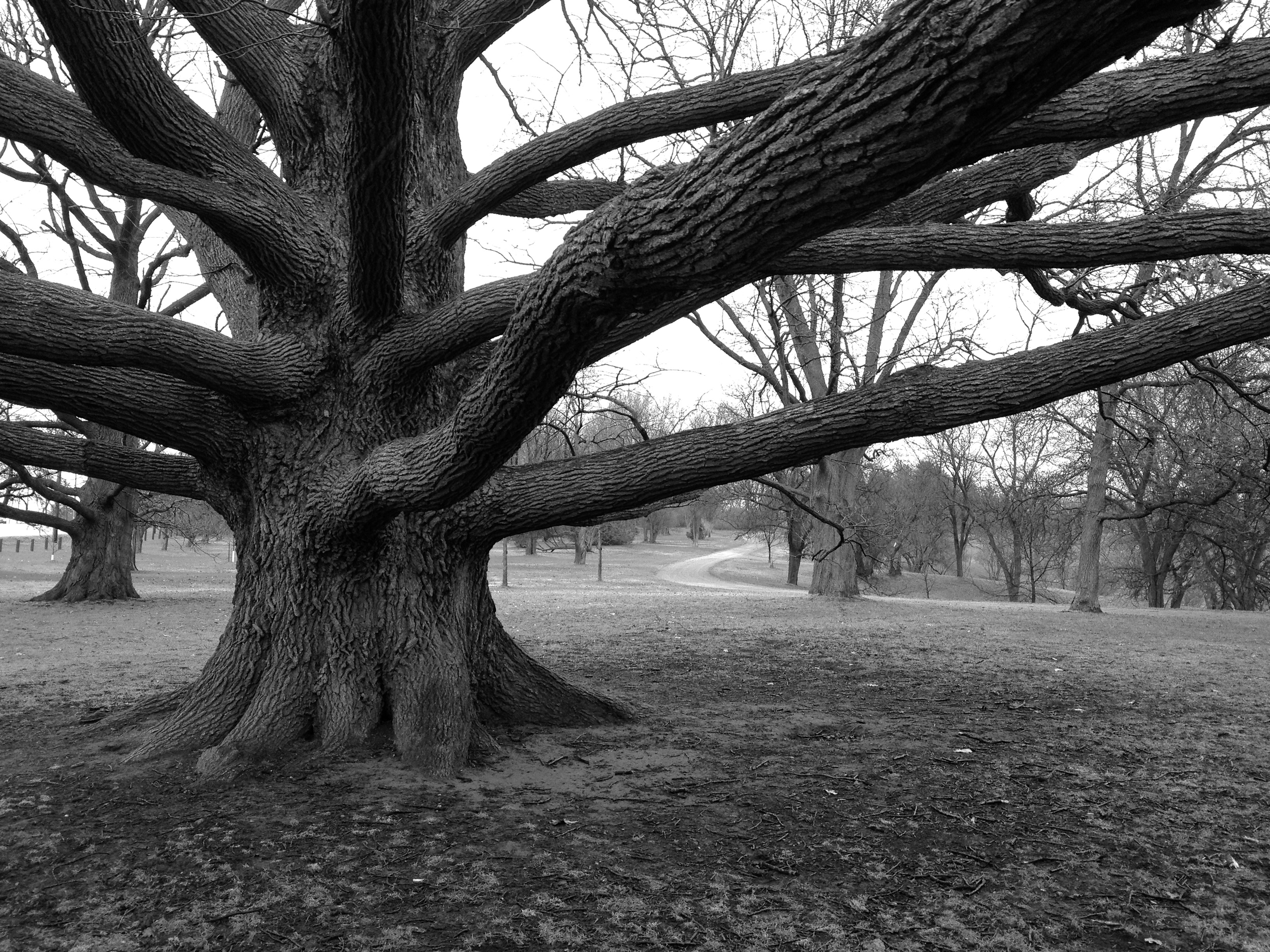 """Bebb's"" oak. Photo: C. Osler"