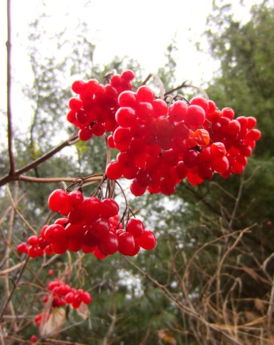 Cramp Bark Berries.