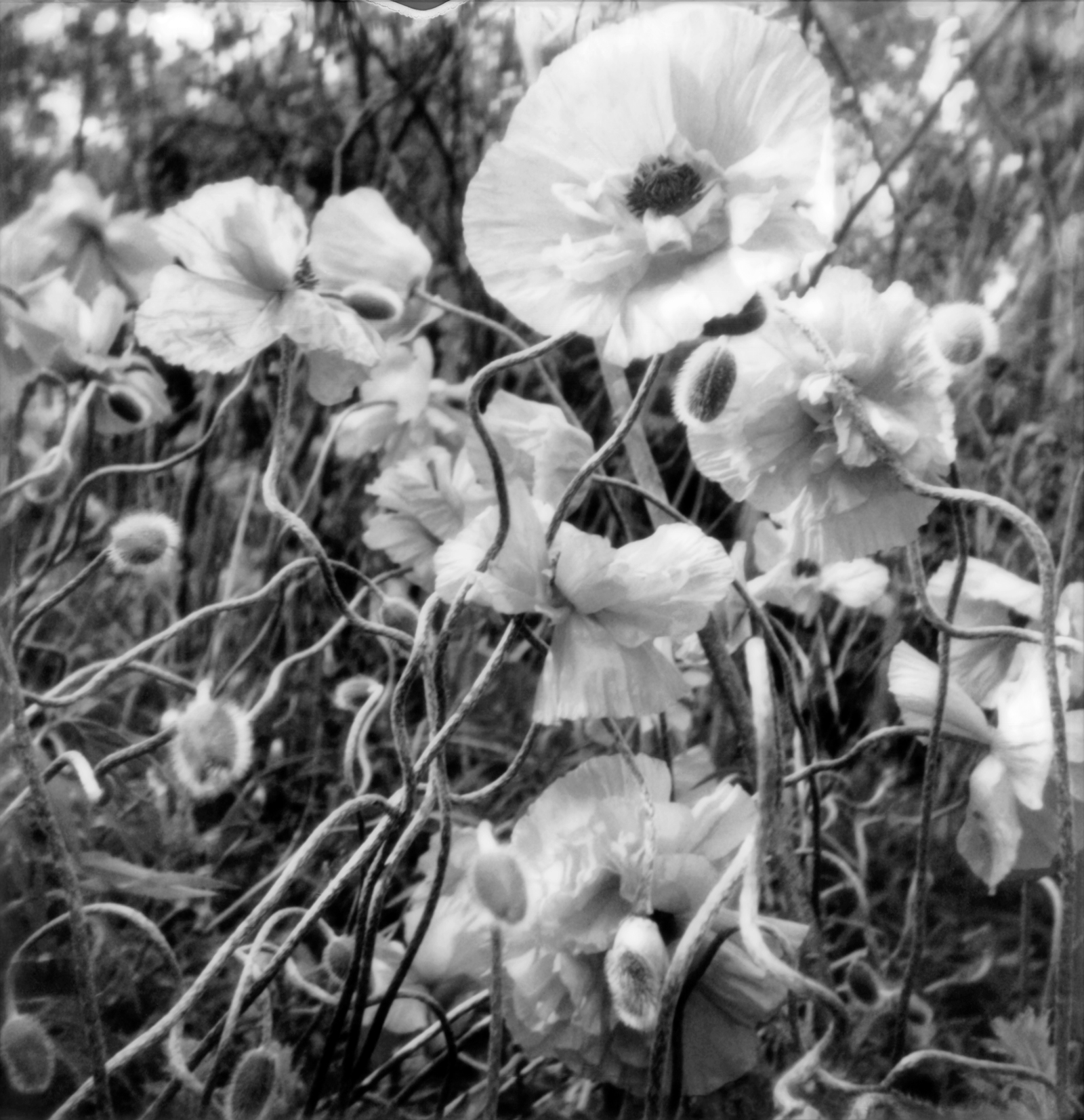 Wild Poppies by the Shore 3, 2019.
