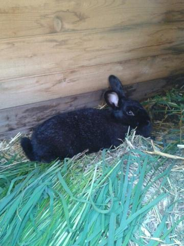 Our Silver Fox rabbit Luna, about to give birth last spring.
