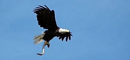 Photo by Cheryl Daigle. Quite often eagles fly over the Penobscot River right near downtown Bangor.