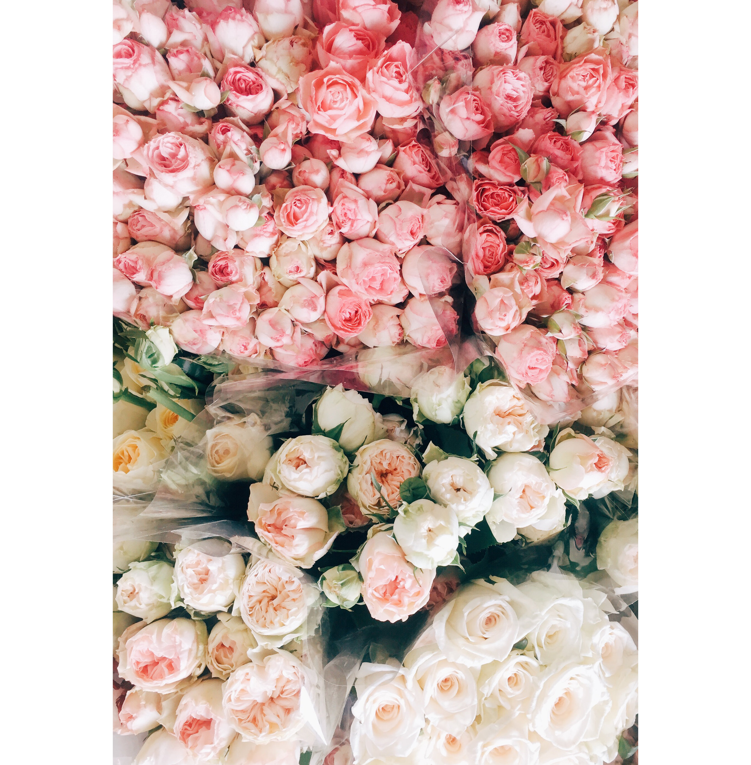 Blush Colored Roses.jpg