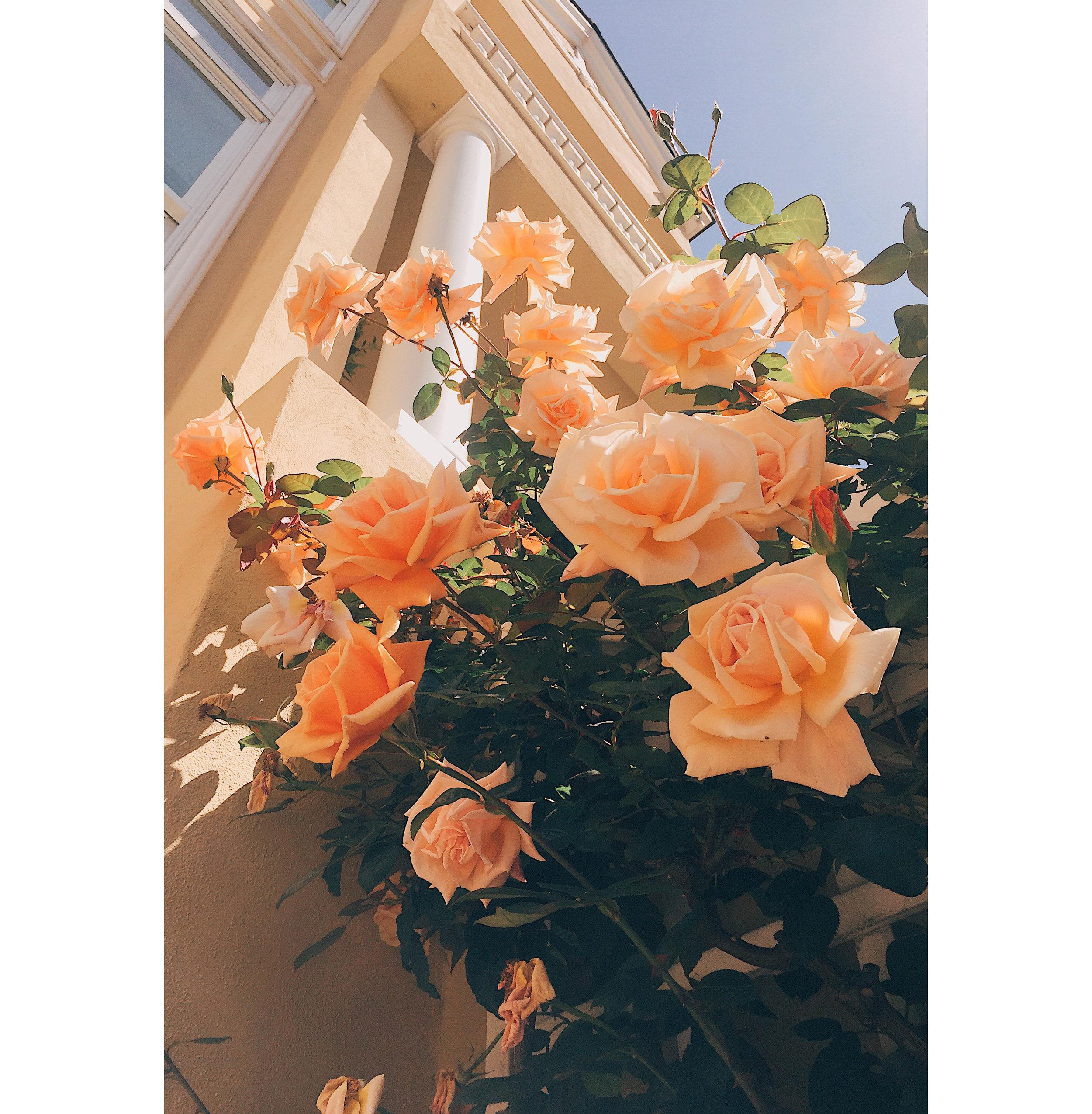 SF Roses 1.jpg