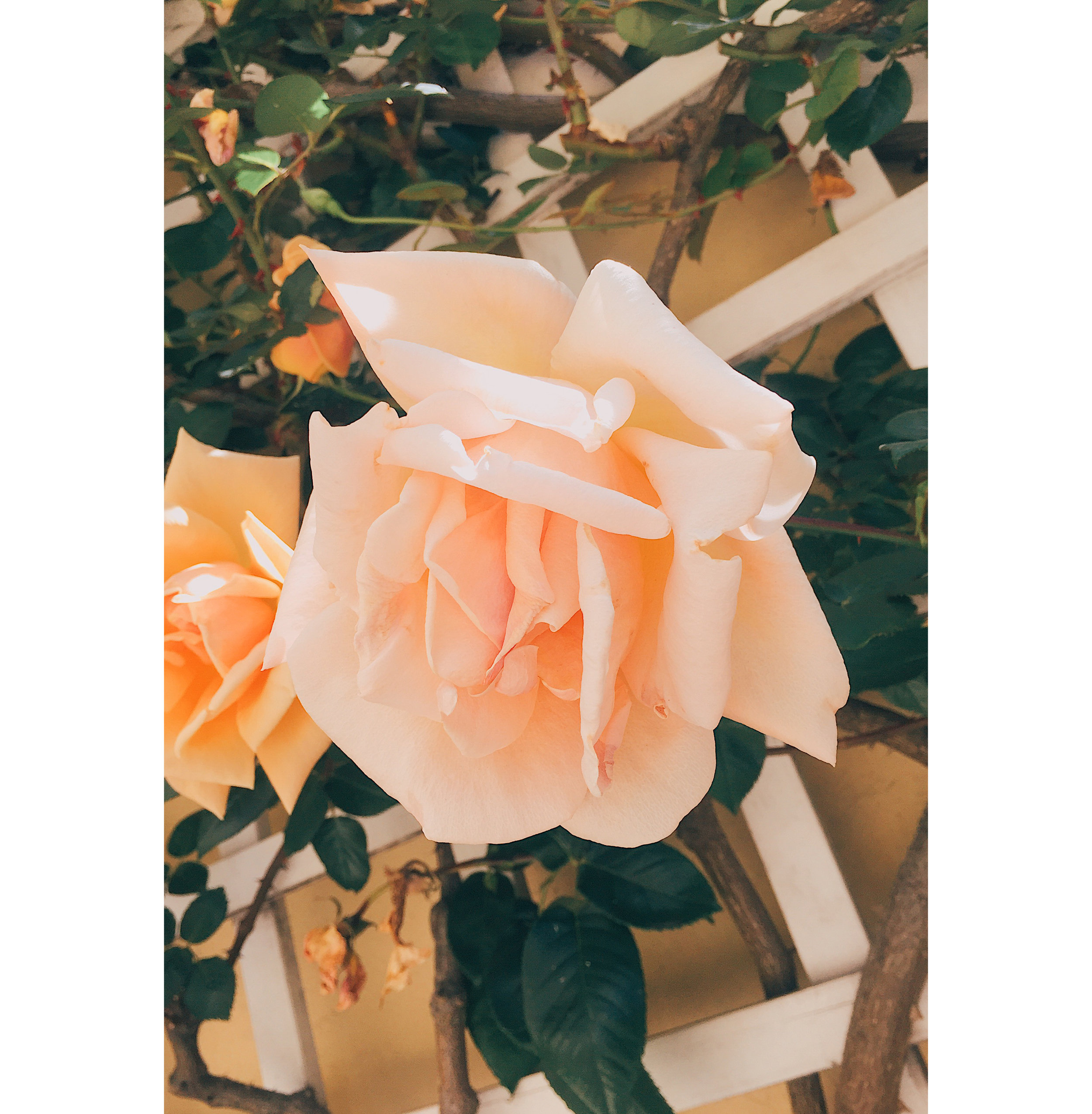 SF Roses 2.jpg