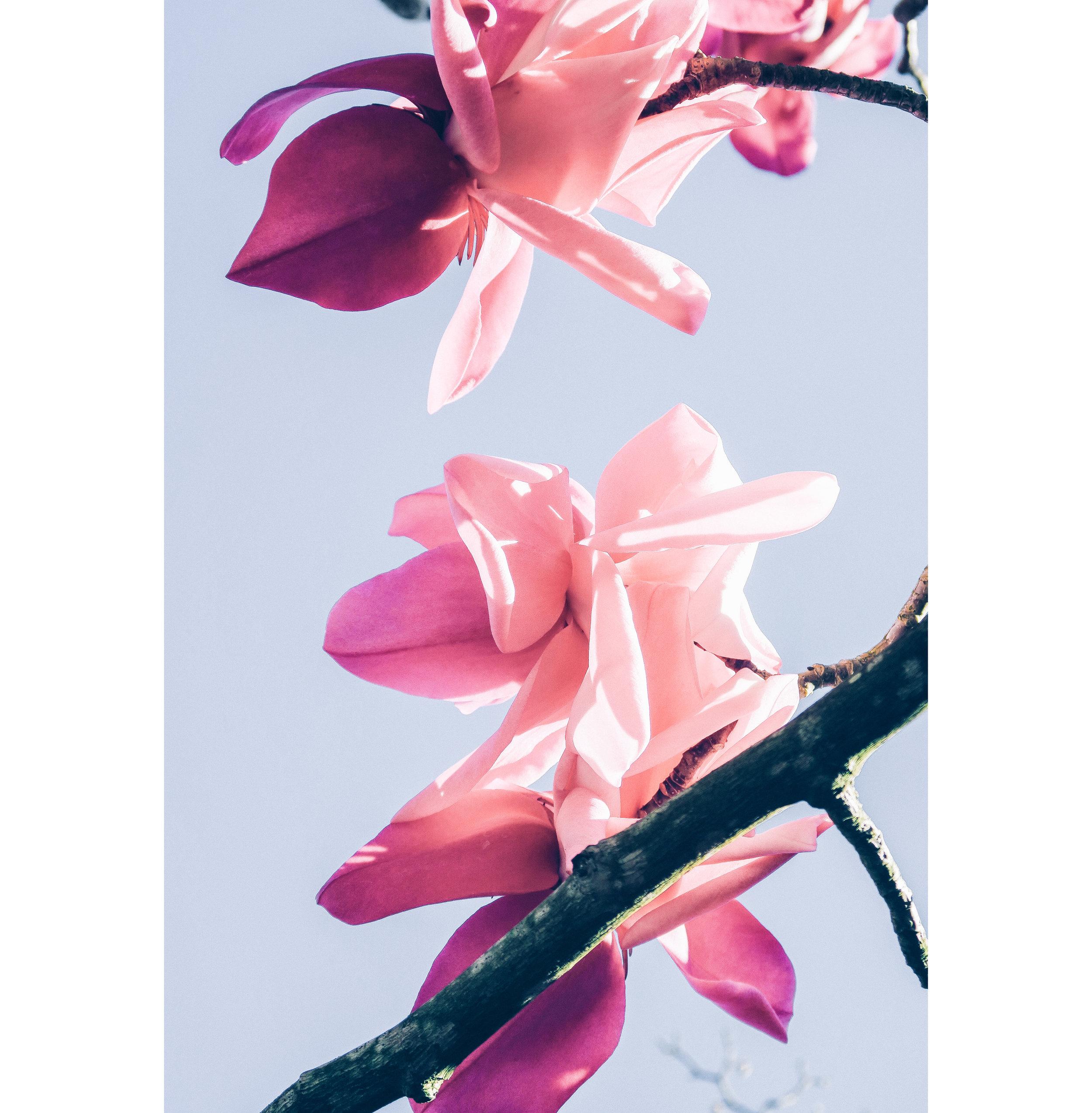 San Francisco Magnolias 2.jpg