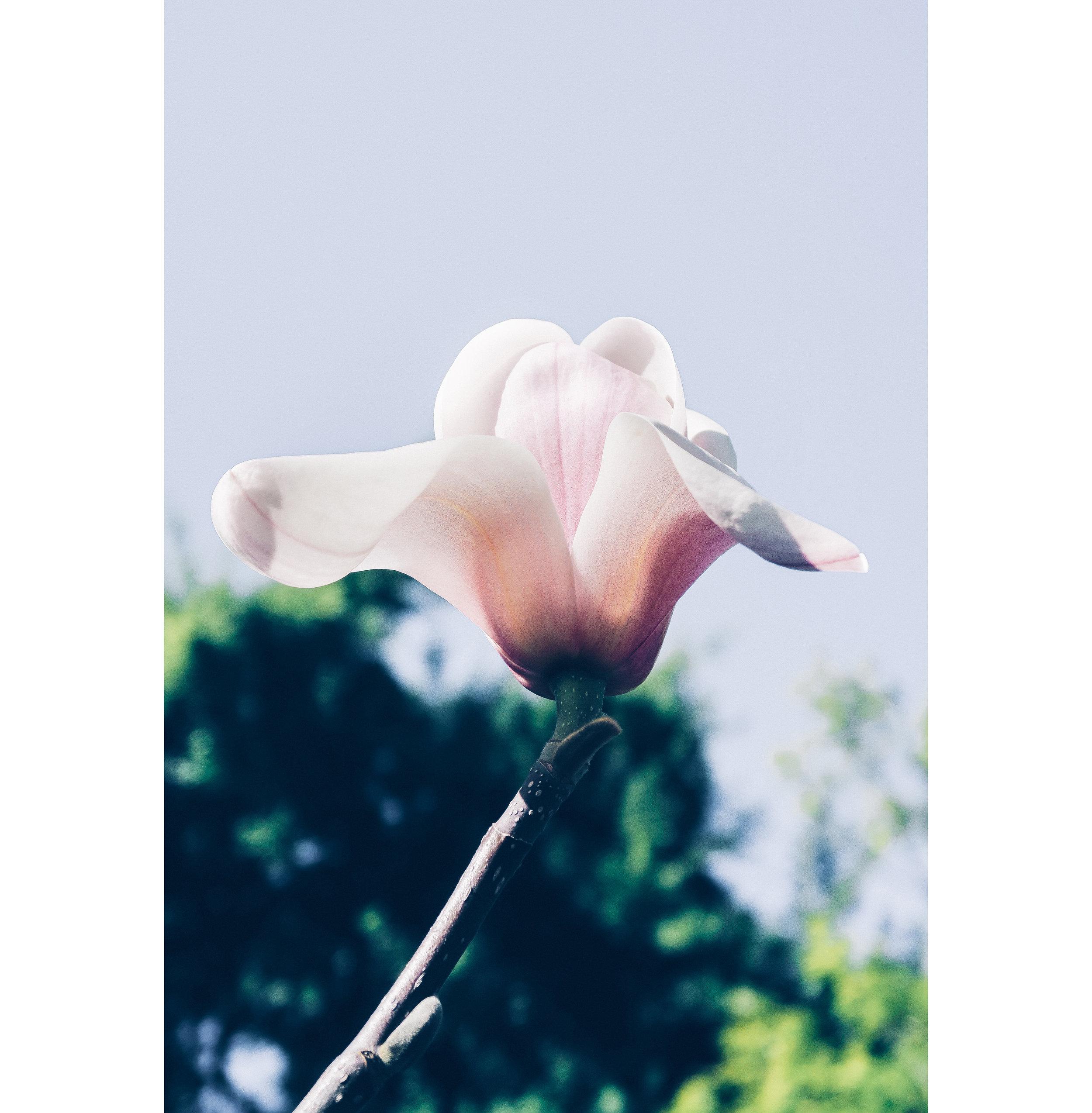 San Francisco Magnolias 1.jpg