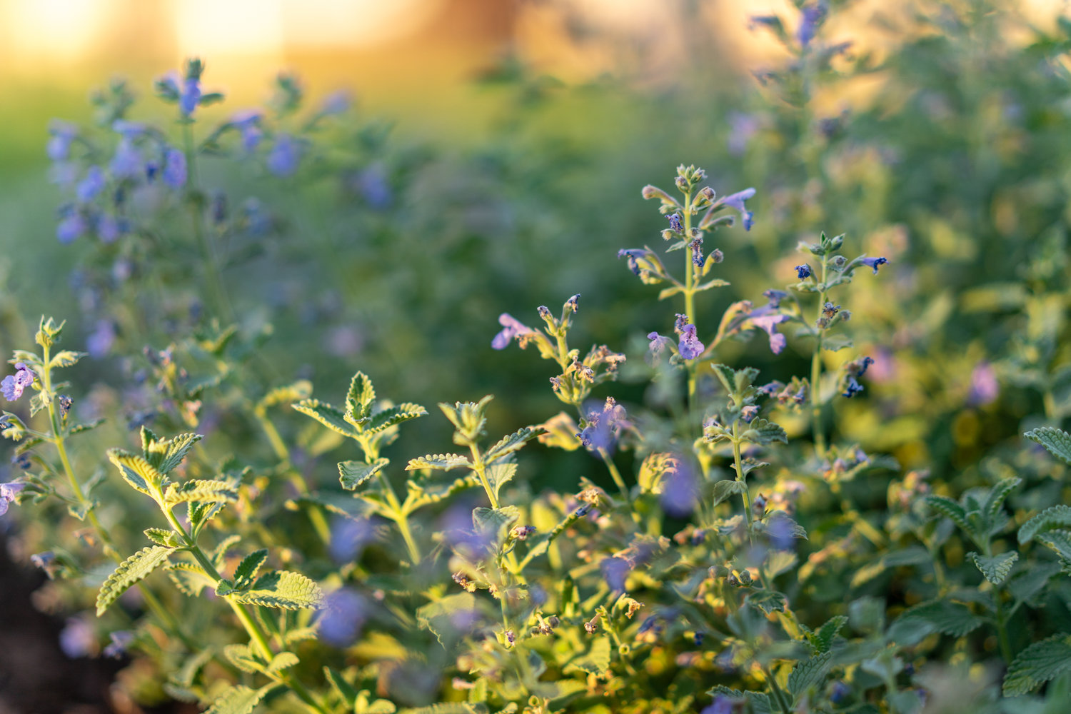 catmint-with-light.jpg