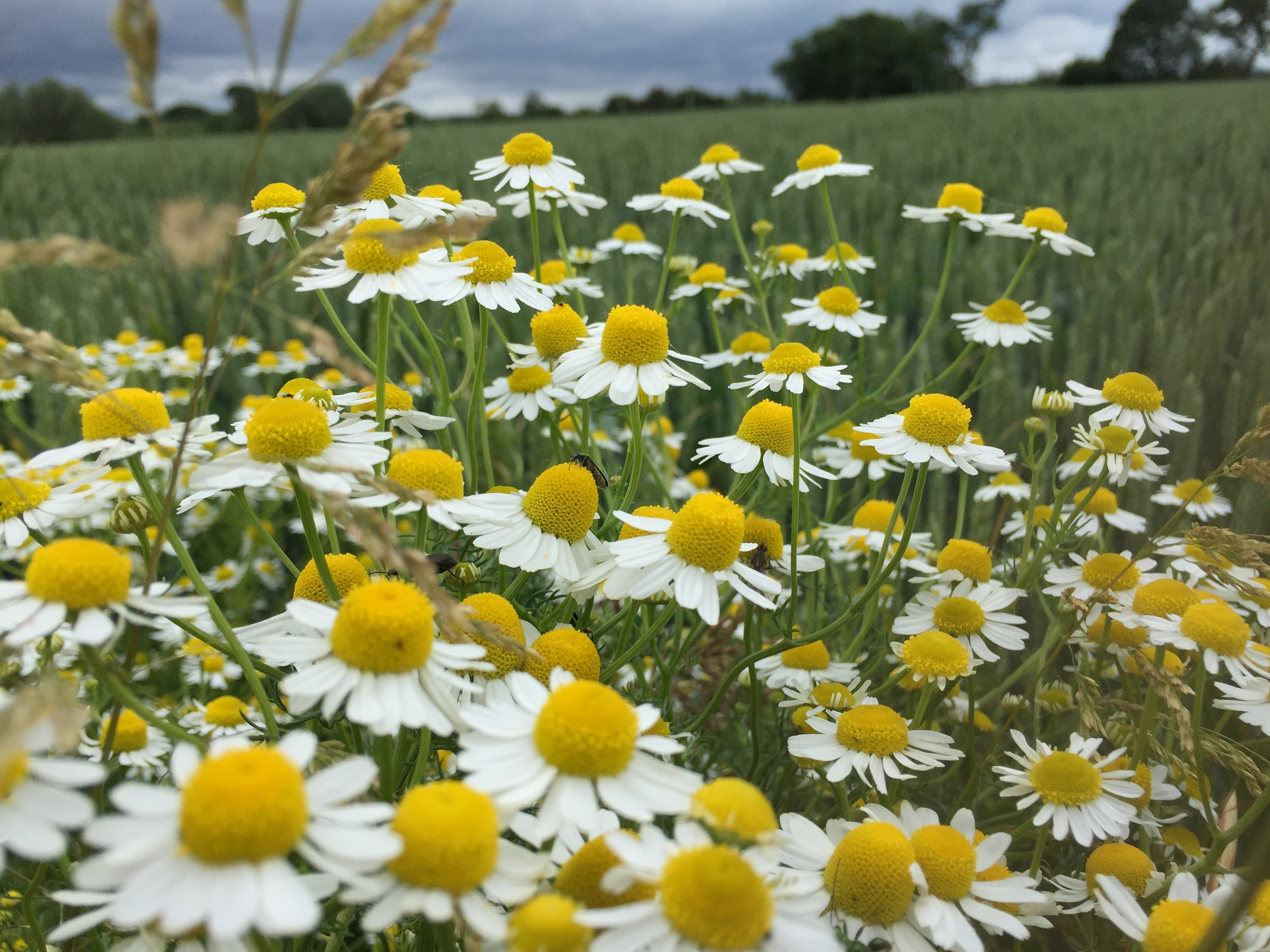 Wild chamomile. The smell slows down time.