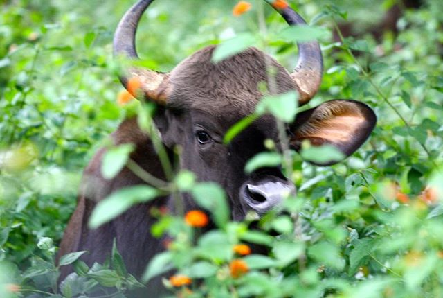 ... a gentle Beast - the Indian Gaur | Bison.  Visual credit @rajatkumar  # explorIndya-nofilter #explorindya #southindia #wildlife #westernghats #nilgiris #tamilnadu #travel #indiatravellens #indiangaur