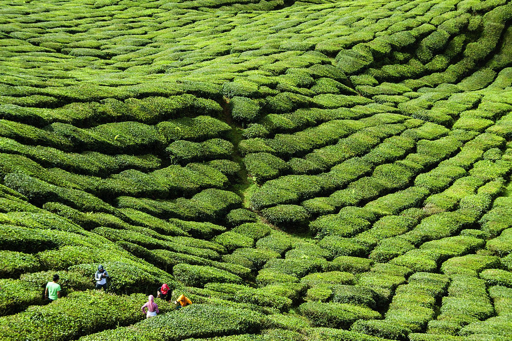 Malaisie, Cameron Highlands. 2012