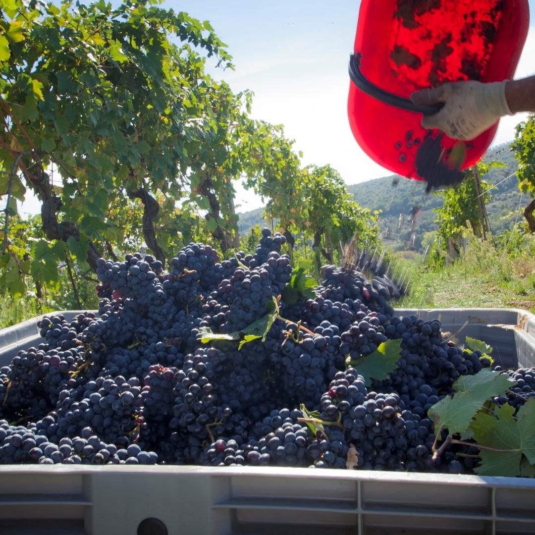 La Vernaccia di San Gimignano Riserva '98 Panizzi è premiata, dalla Guida dei Vini d'Italia del Gambero Rosso, con l'assegnazione dei 3 bicchieri: è la prima volta che una Vernaccia di San Gimignano ottiene questo ambito riconoscimento.