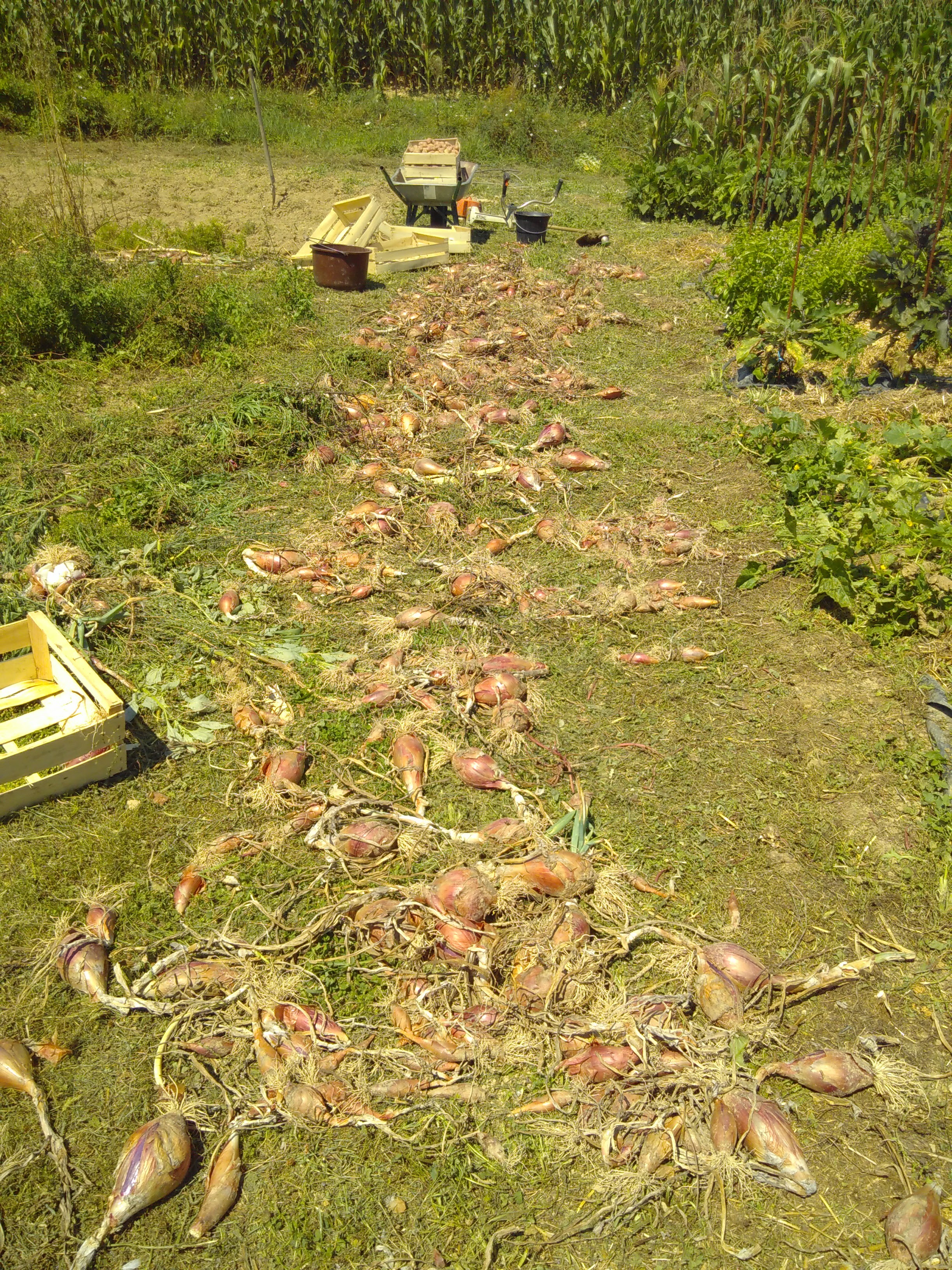 the onion harvest... and potatoes in the background