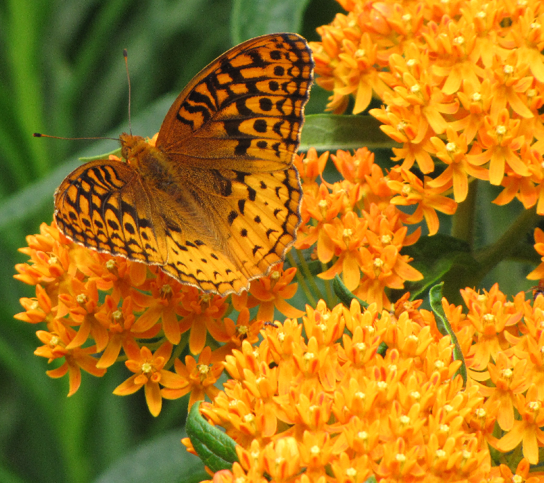 Fritillary on native Butterfly Weed flowers